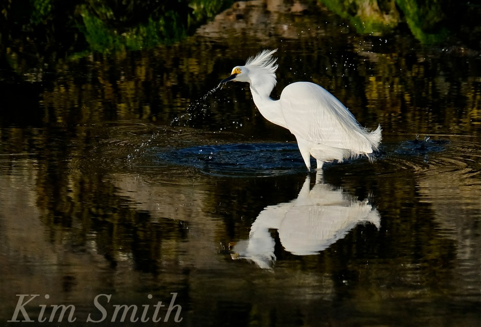Snowy Egret Good Harbor Beach copyright Kim Smith