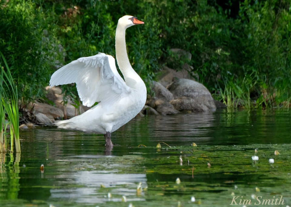 Swan outstretched wings Niles Pond coyright Kim Smith