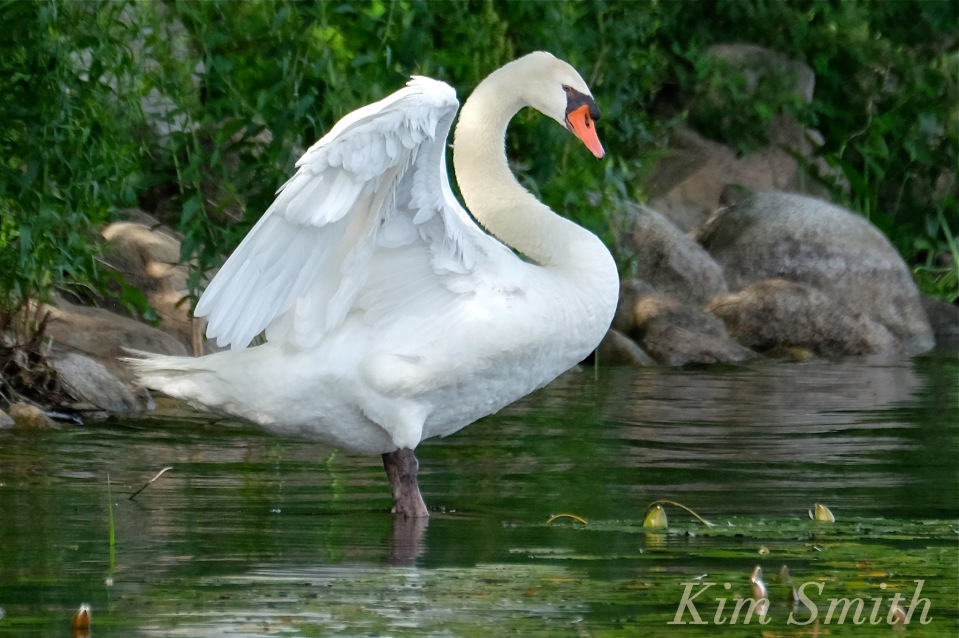 Swan wings Niles Pond coyright Kim Smith