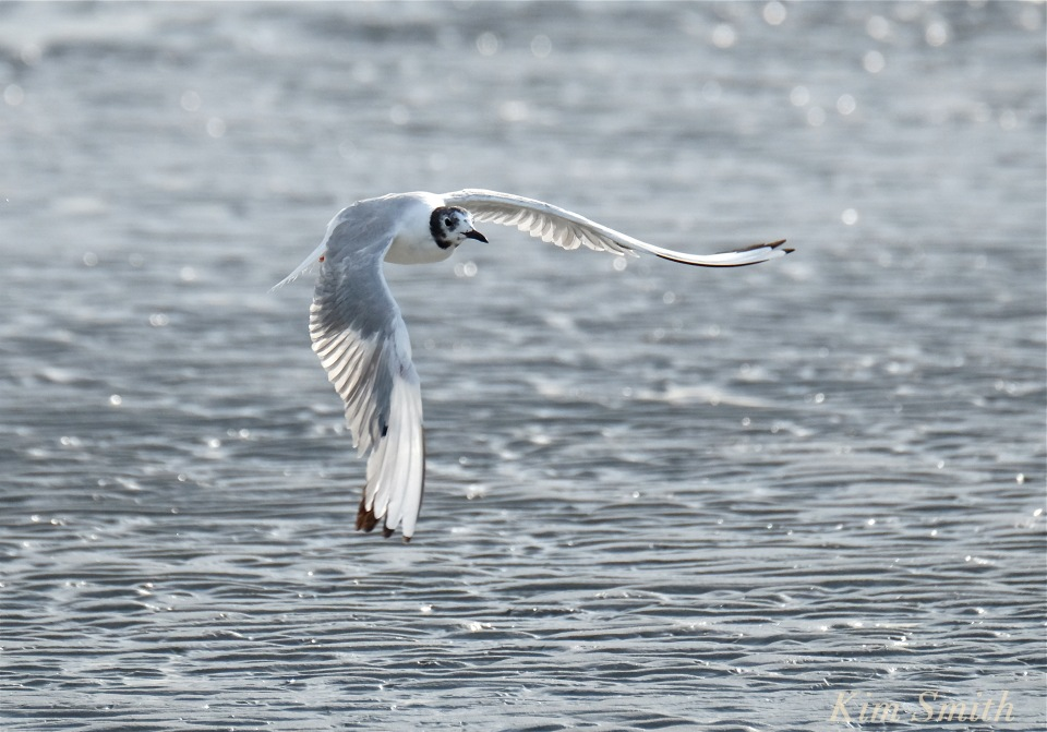 Bonaparte's Gull Larus philadelphia Cape Ann -3 copyright Kim Smith