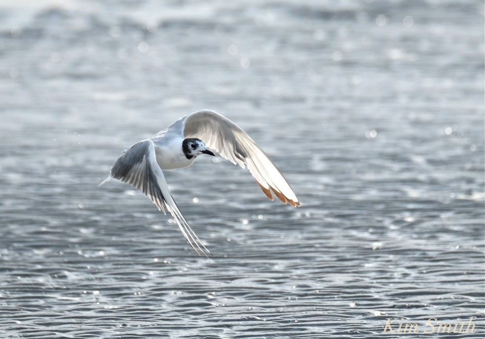 Bonaparte's Gull Larus philadelphia Cape Ann copyright Kim Smith