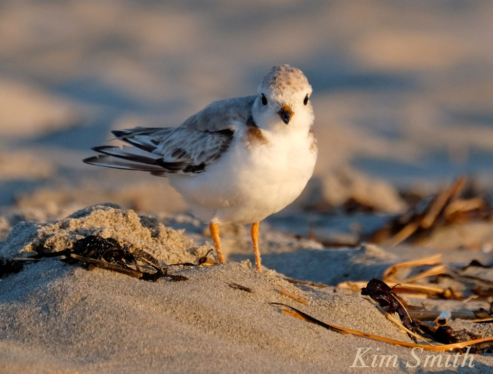 Female Piping Plover Good Harbor Beach Gloucester copyright Kim Smith