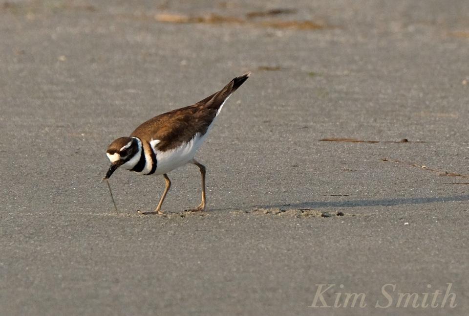 Killdeer Good Harbor Beach Gloucester copyright Kim Smith