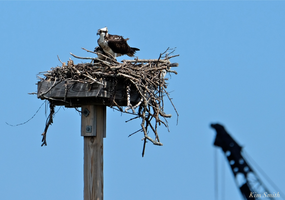 Osprey and fledgling Annisquam Essex County -1 copyright Kim Smith