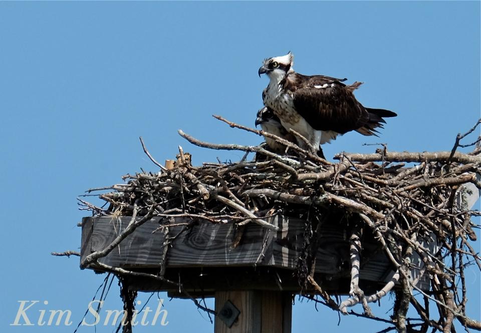 Osprey and fledgling Annisquam Essex County copyright Kim Smith
