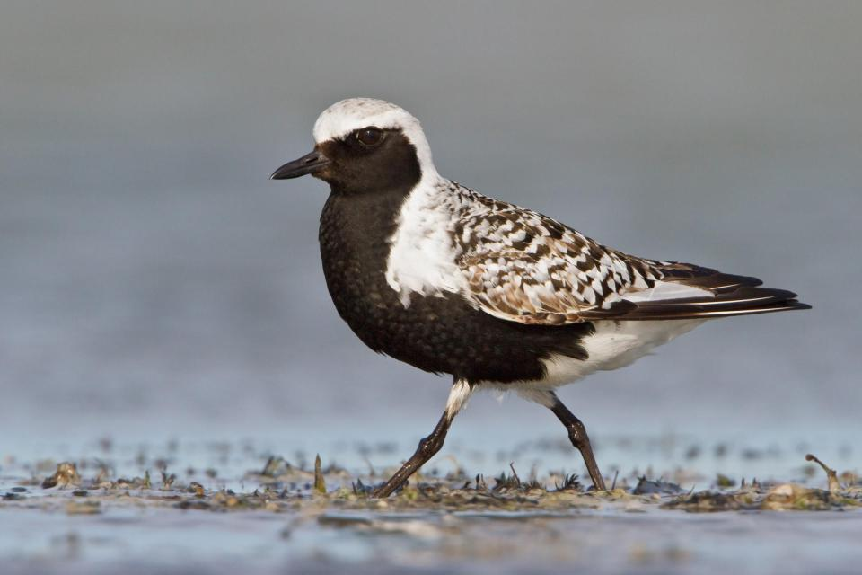 black-bellied-plover-b57-13-038_v