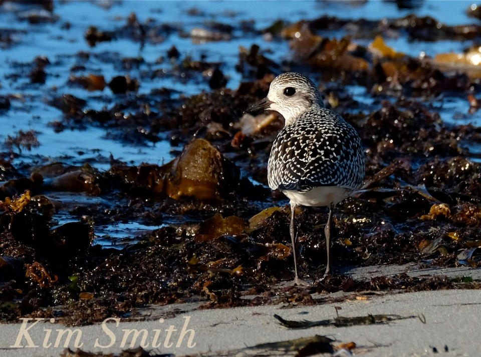 black-bellied-plover-grey-plover-2-massachusetts-copyright-kim-smith