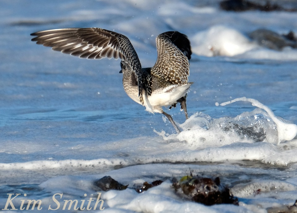 black-bellied-plover-grey-plover-in-flight-massachusetts-copyright-kim-smith