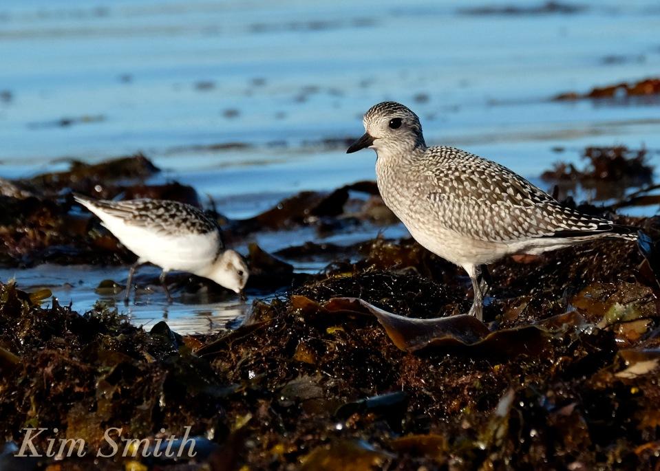 black-bellied-plover-grey-plover-sanderlings-massachusetts-3-copyright-kim-smith