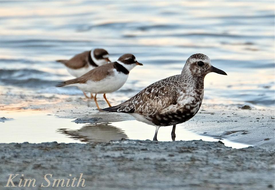 black-bellied-plover-grey-plover-semi-palmated-plover-massachusetts-copyright-kim-smith
