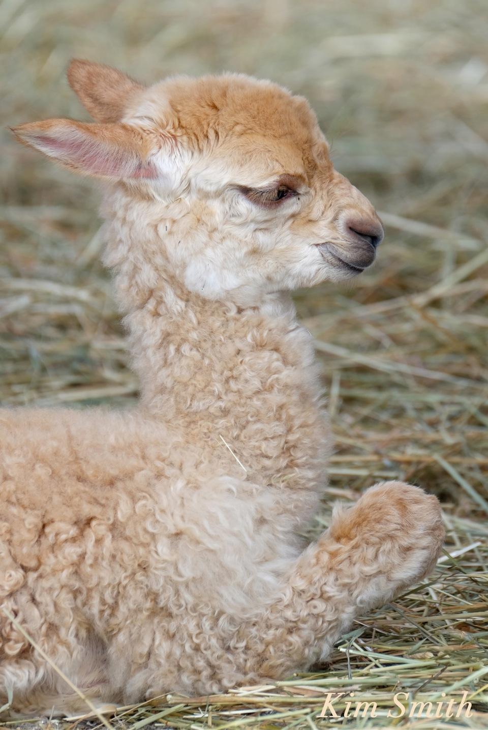 Harumby Marshall's Alpaca Farm copyright Kim Smith