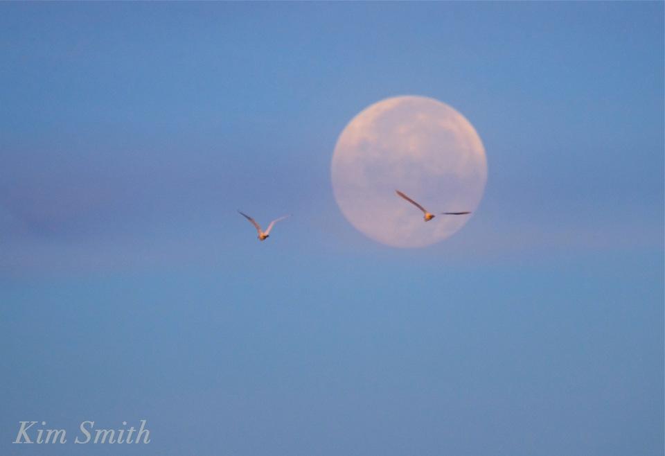 harvest-moon-set-snowy-egret-copyright-kim-smith