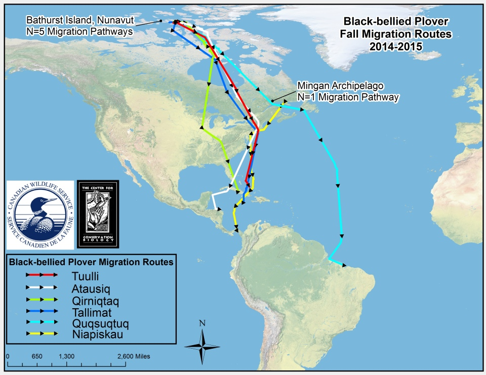 Migration routes of black-bellied plovers tagged on breeding grounds and a stopover location along the St. Lawrence River.