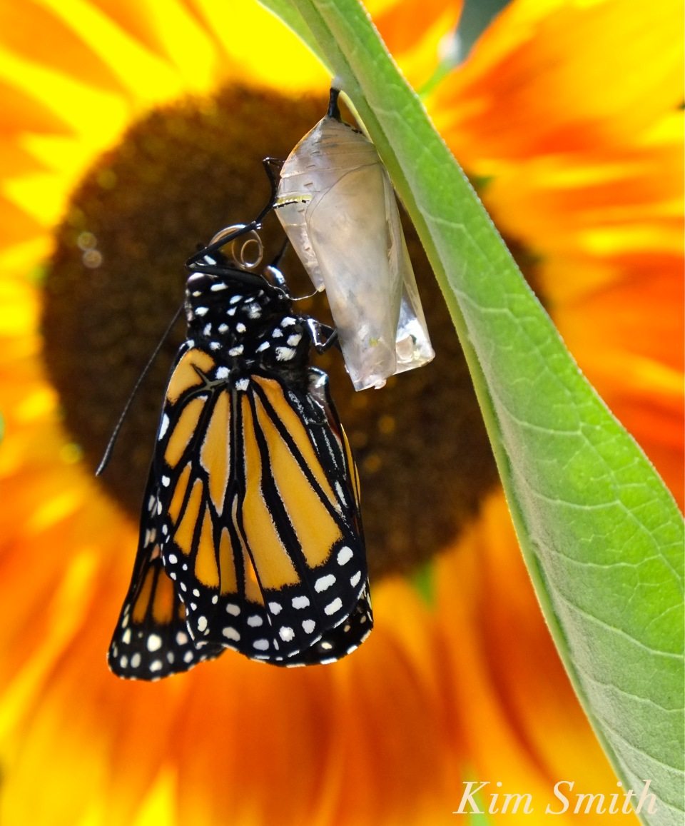 newly-emerged-monarch-butterfly-copyright-kim-smith-jpg