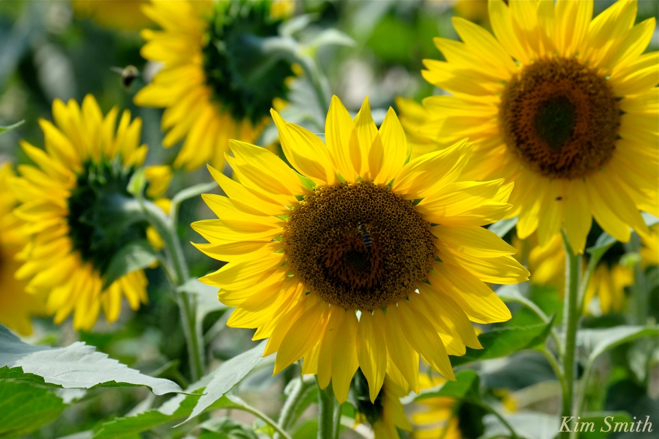 sunflower-helianthus-annuus-2-copyright-kim-smith