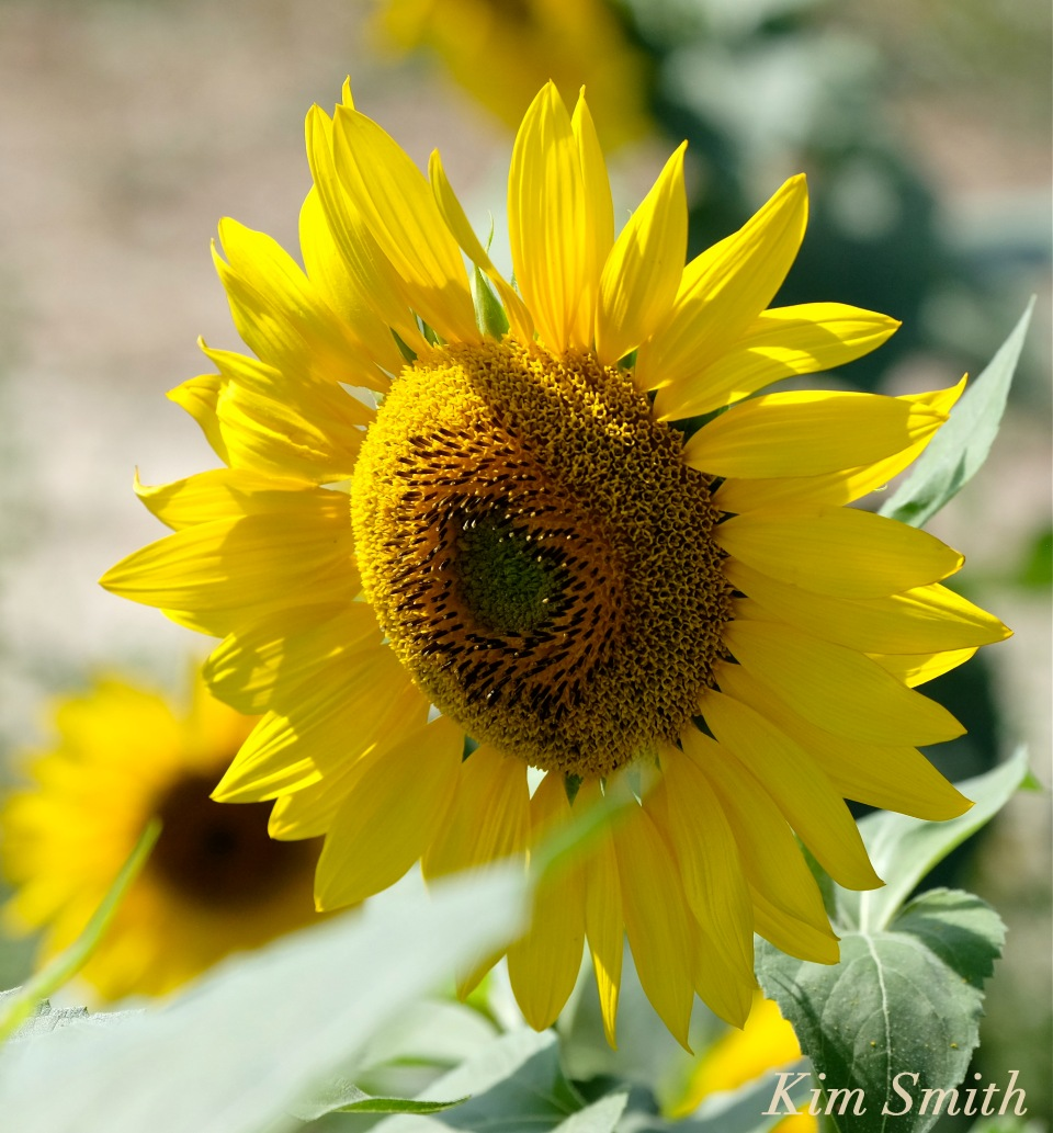 sunflower-helianthus-annuus-copyright-kim-smith
