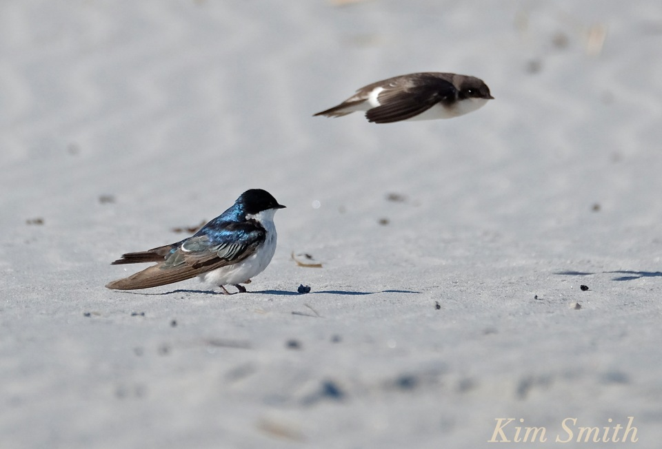 Tree Swallows Male Female copyright Kim Smith