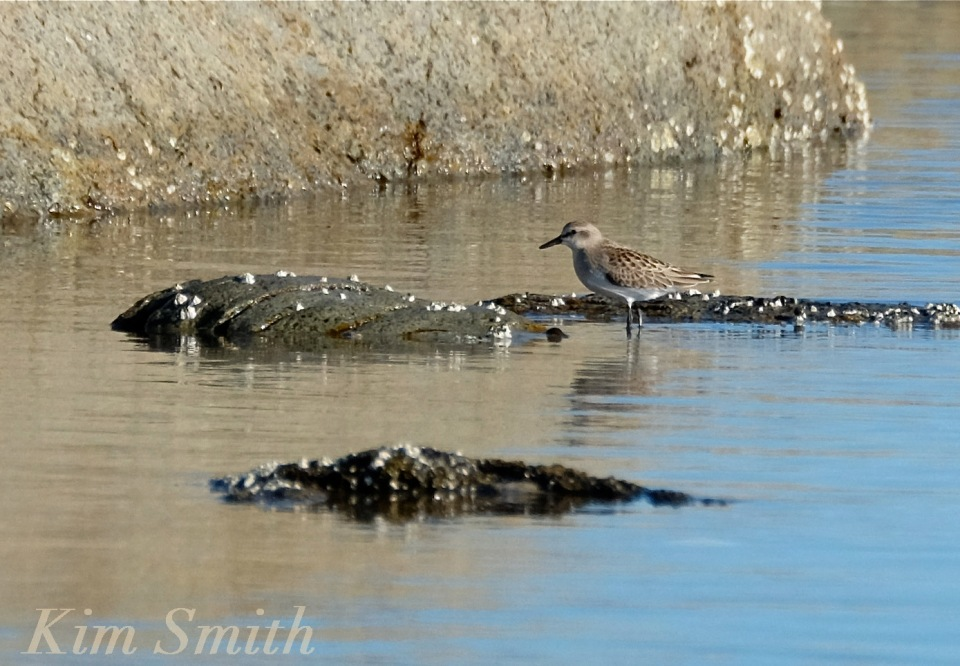 White rumped-Red Knot  mystery copyright Kim Smith