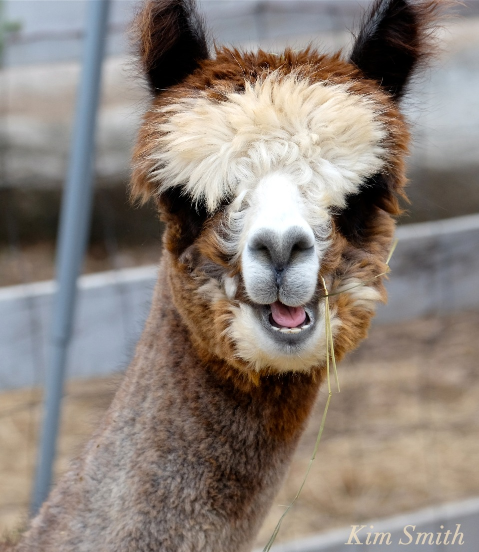 angies-alpaca-gloucester-massachusetts-4-copyright-kim-smith