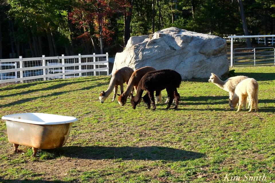 angies-alpacas-copyright-kim-smith