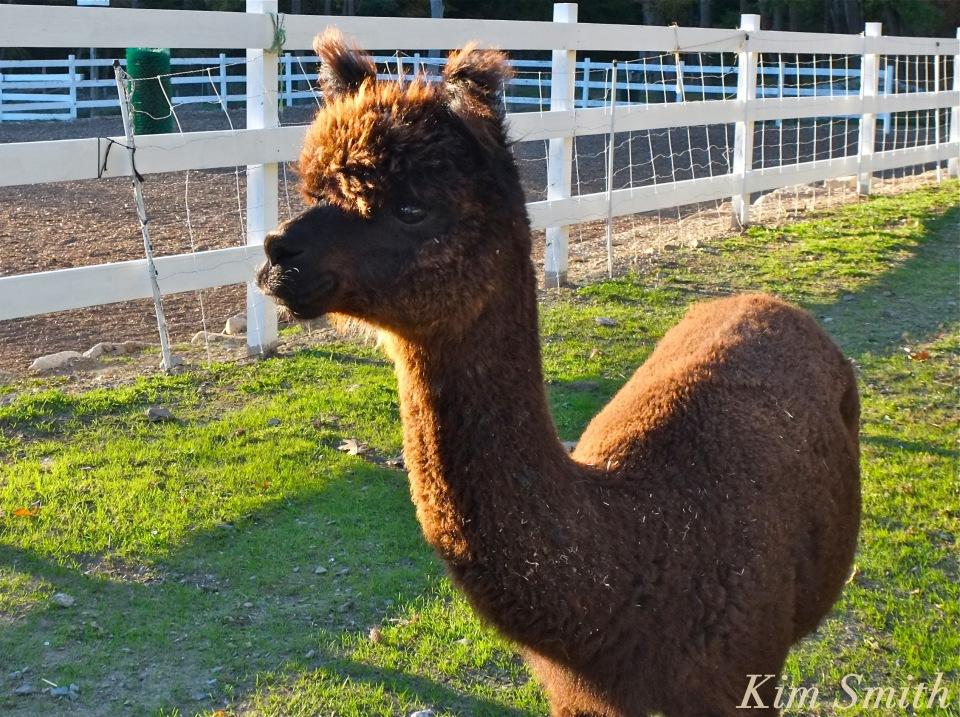 frankie-at-angelas-alpacas-copyright-kim-smith