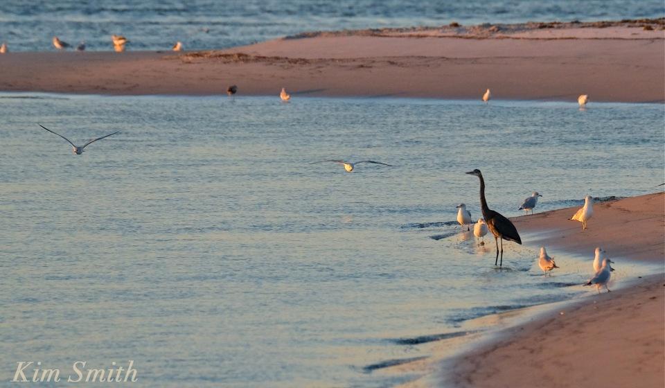 great-blue-heron-essex-river-copyright-kim-smith