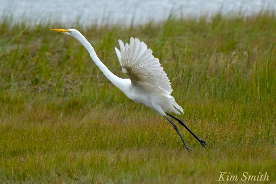 great-egret-battle-ardea-alba-6-copyright-kim-smith-copy