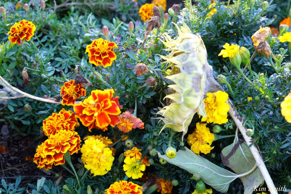 marigolds-1-cedar-rock-gardens-copyright-kim-smith