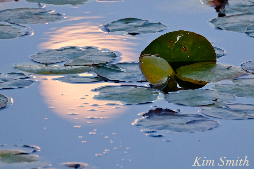 moonlit-lily-pads-copyright-kim-smith