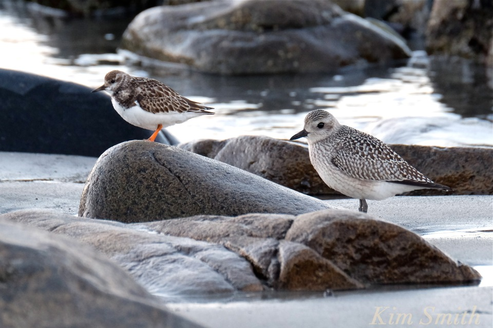 ruddy-turnstone-black-bellied-plover-massachusetts-copyright-kim-smith