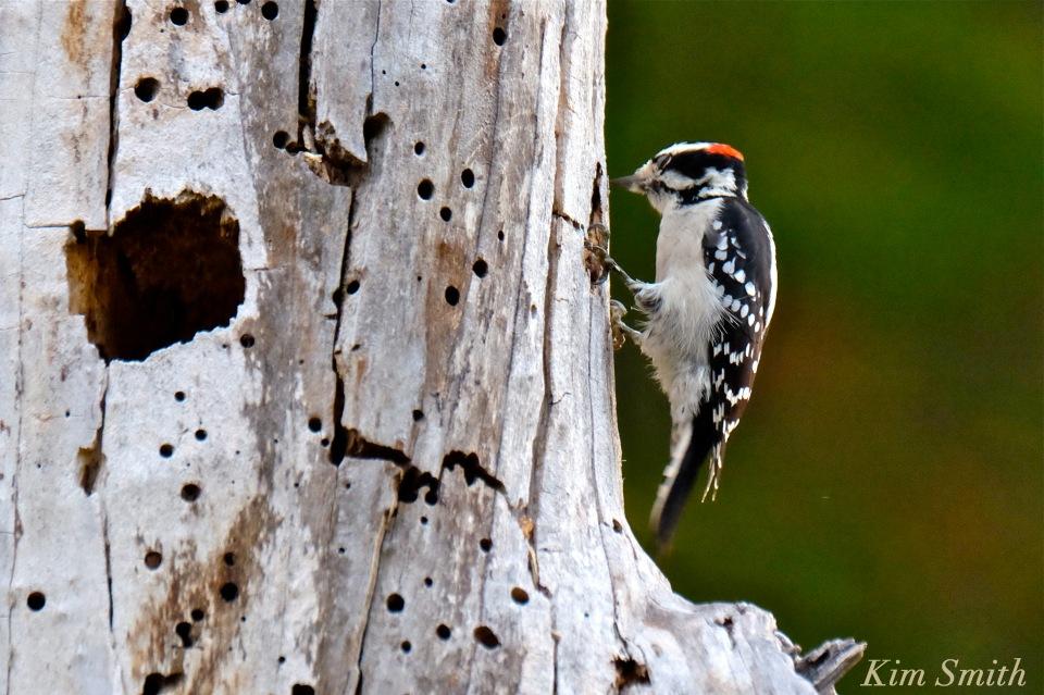 downy-woodpecker-cape-ann-gloucester-massachusetts-2-copyright-kim-smith