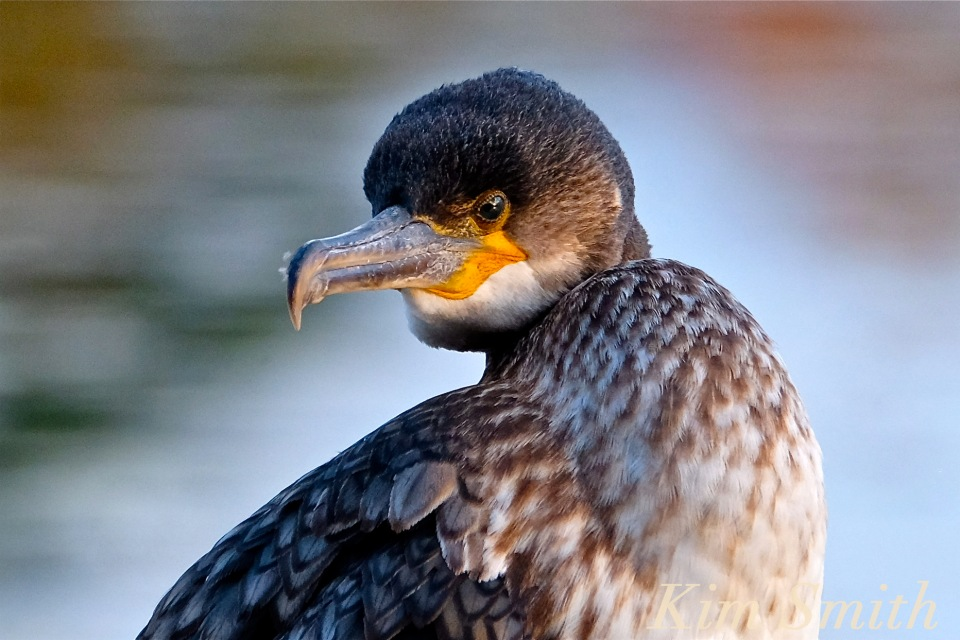 great-cormorant-juvenile-niles-pond-gloucester-massachustts-3-copyright-kim-smith