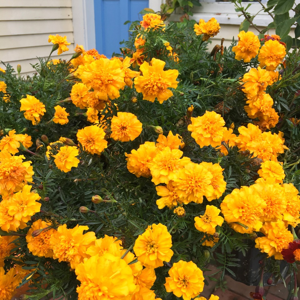 marigolds-flor-de-muerto-copyright-kim-smith