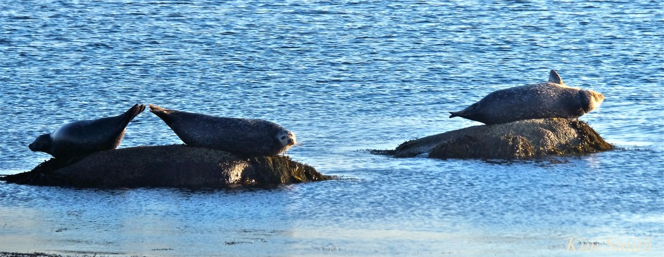 brace-cove-seals-copyright-kim-smith