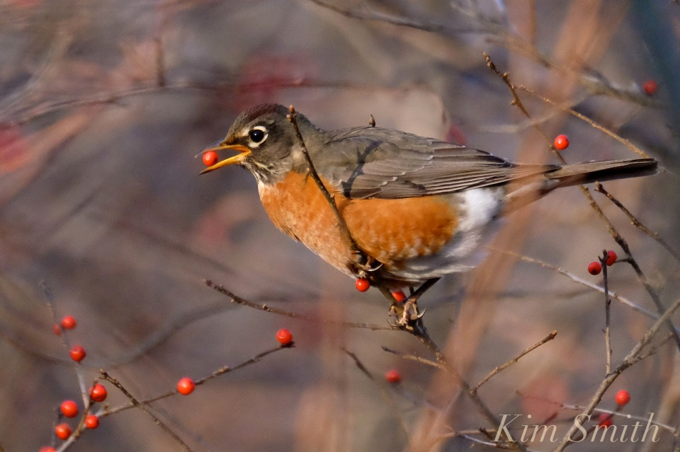christmas-robin-winterberry-2-copyright-kim-smith