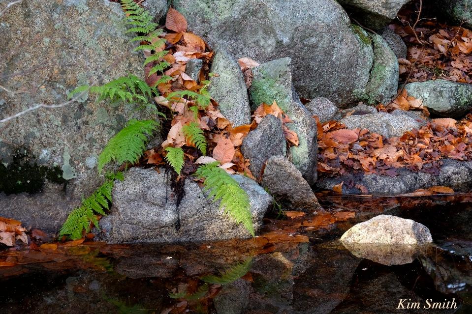 ferns-beaver-food-beaver-pond-langsford-pond-gloucester-ma-copyright-kim-smith