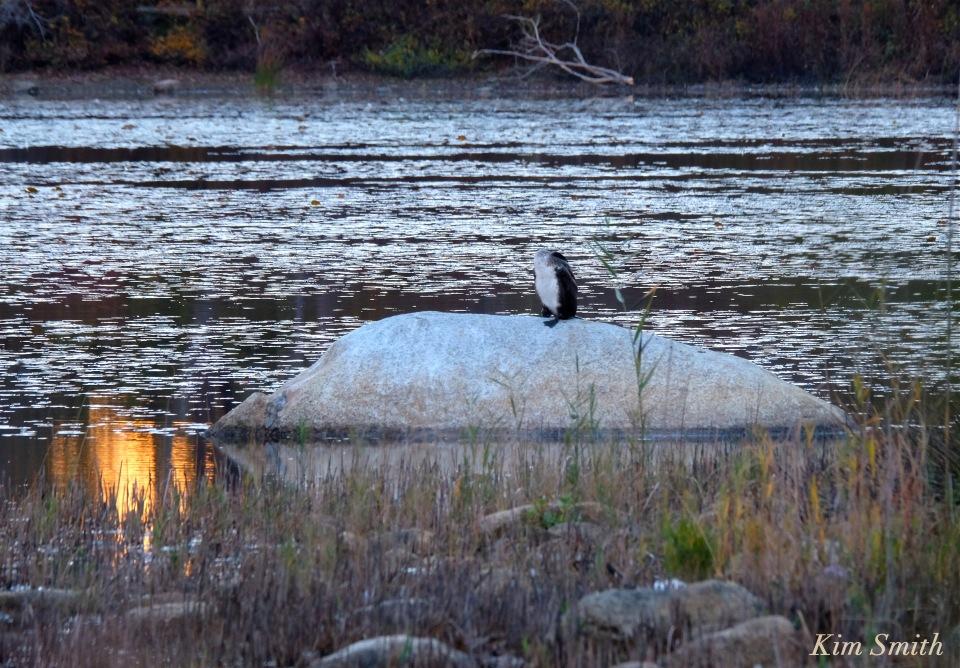 great-cormorant-juvenile-niles-pond-gloucester-massachustts-copyright-kim-smith