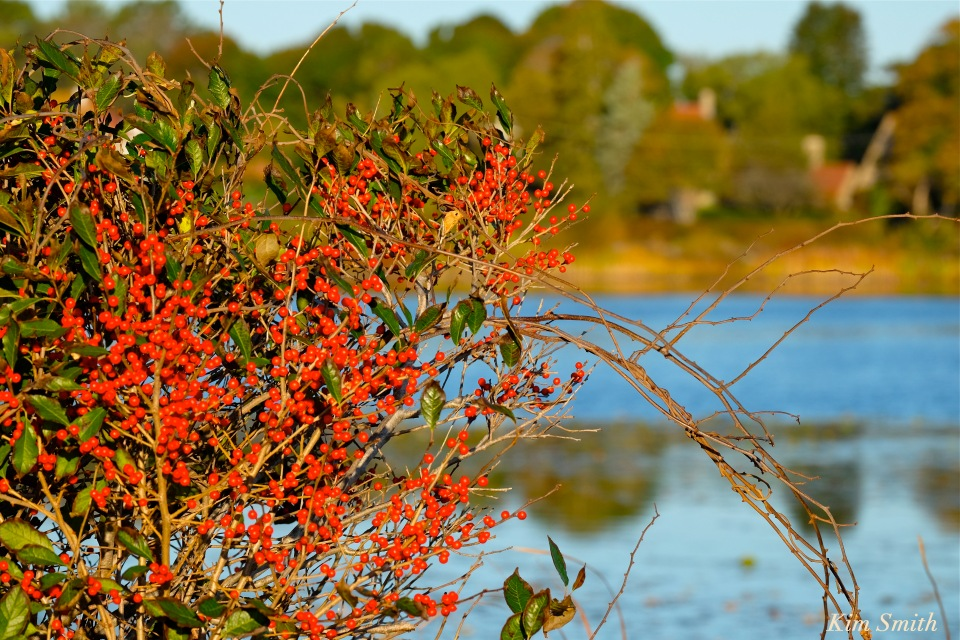 niles-pond-winterberry-copyright-kim-smith