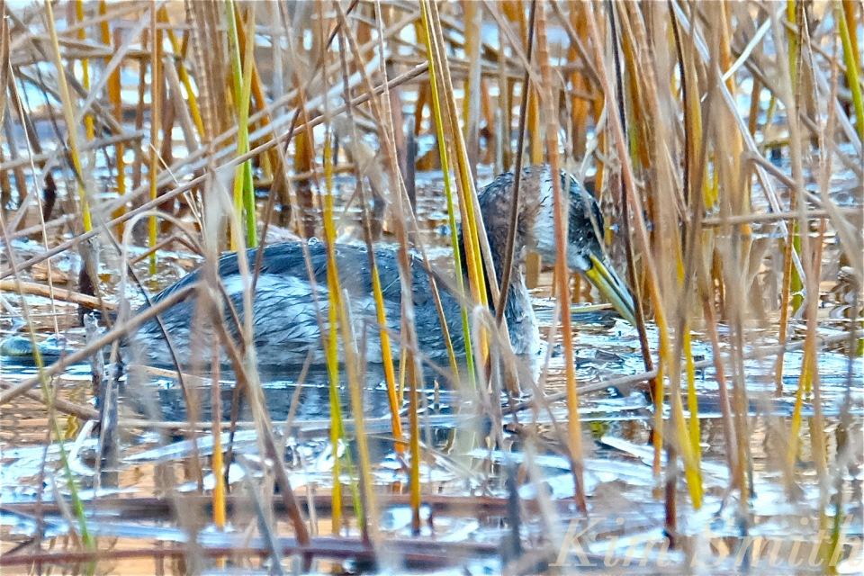 red-necked-grebe-niles-pond-gloucester-ma-3-copyright-kim-smith