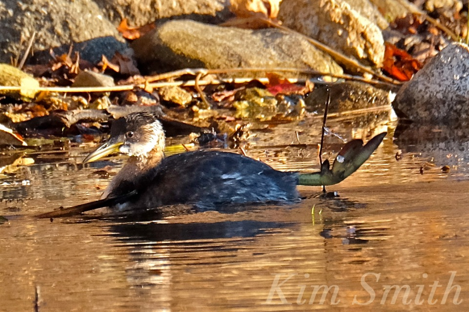 red-necked-grebe-niles-pond-gloucester-ma-4-copyright-kim-smith
