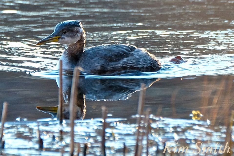 red-necked-grebe-niles-pond-gloucester-ma-5-copyright-kim-smith
