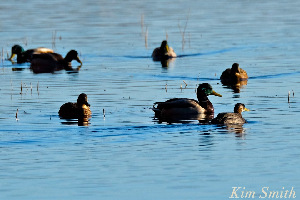 red-necked-grebe-niles-pond-gloucester-ma-6-copyright-kim-smith