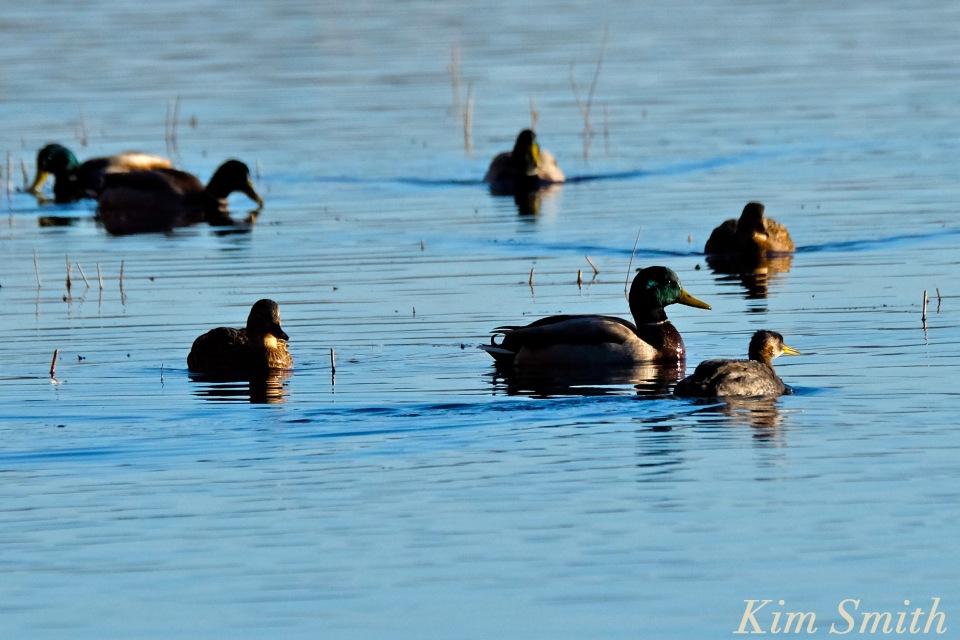 red-necked-grebe-niles-pond-gloucester-ma-6-copyright-kim-smith