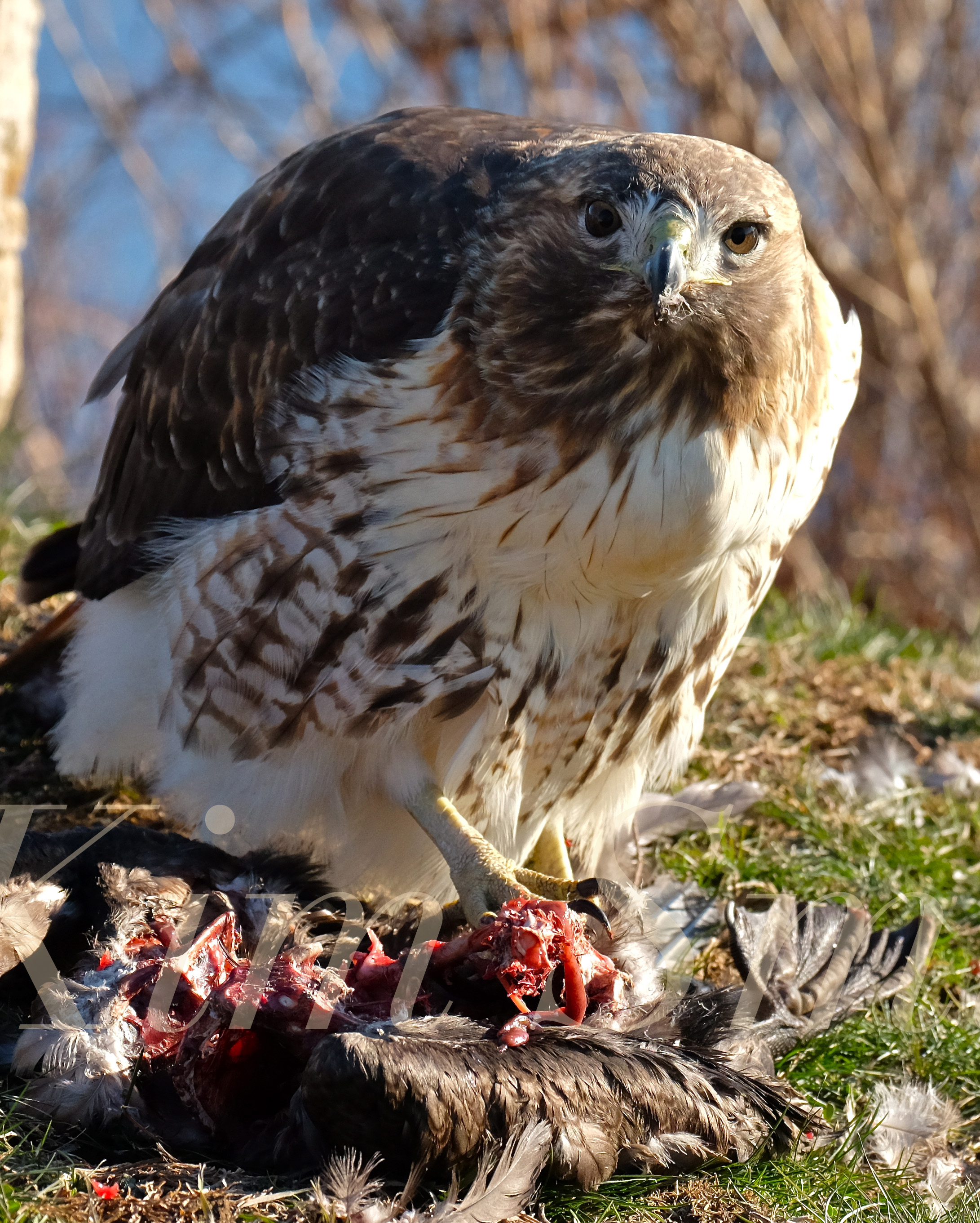 Red Tailed Hawk Eating Prey Gloucester Massachusetts 17 Copyright Kim Smith Kim Smith Films