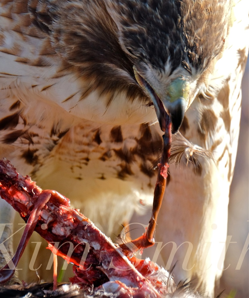 red-tailed-hawk-eating-prey-gloucester-massachusetts-22-copyright-kim-smith
