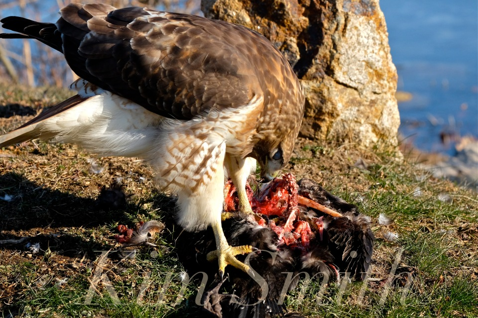 red-tailed-hawk-eating-prey-gloucester-massachusetts-27-copyright-kim-smith