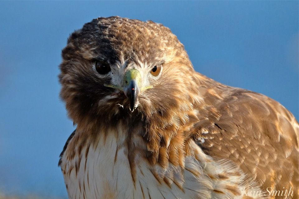 red-tailed-hawk-eating-prey-gloucester-massachusetts-9-copyright-kim-smith