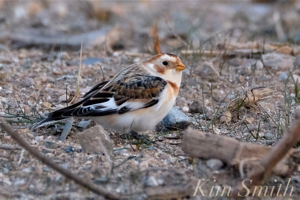 snow-bunting-cape-ann-massachusetts-5-copyright-kim-smith