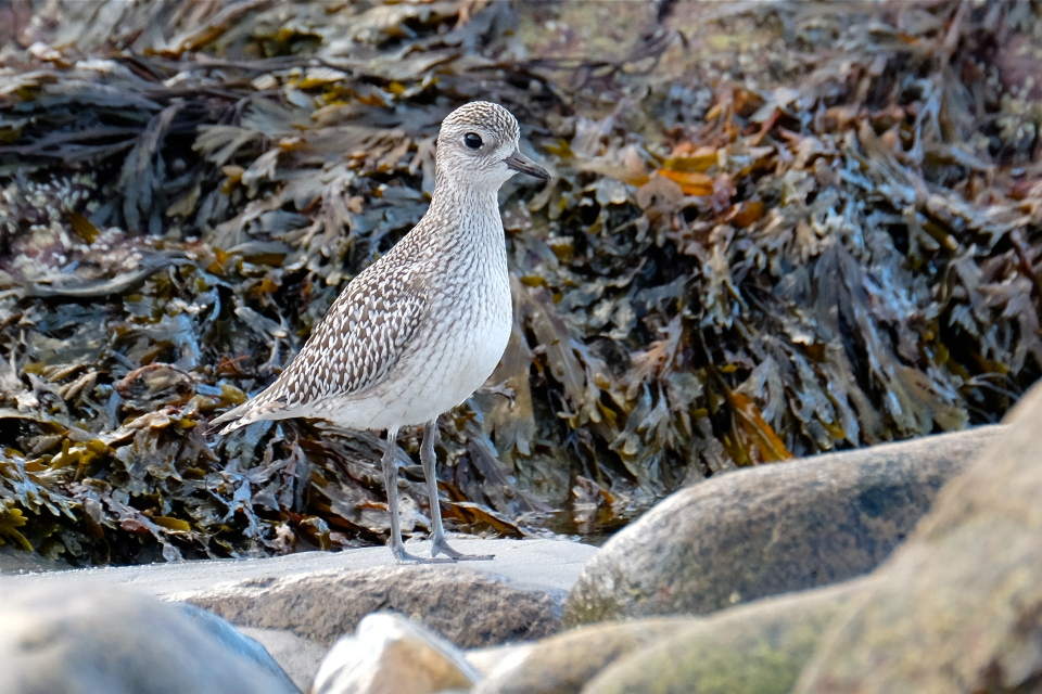 black-bellied-plover-cape-ann-massachusetts-copyright-kim-smith