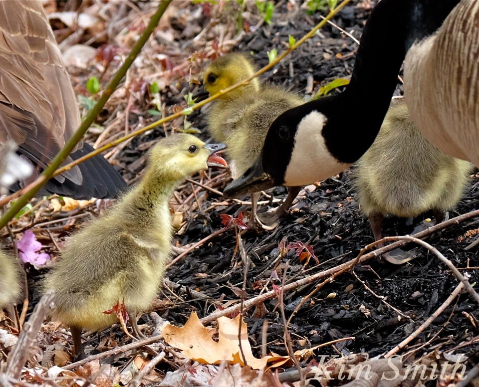 canada-geese-goslings-sass-c-kim-smith